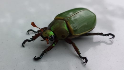 Image of a feckless beetle